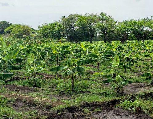 6 Manzana Banana Farm